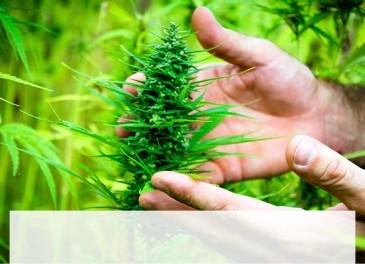 ¿Legalizar el cannabis?